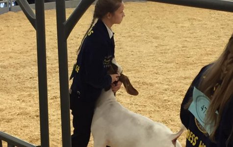 FFA Takes Home Honors at CFISD Livestock Show