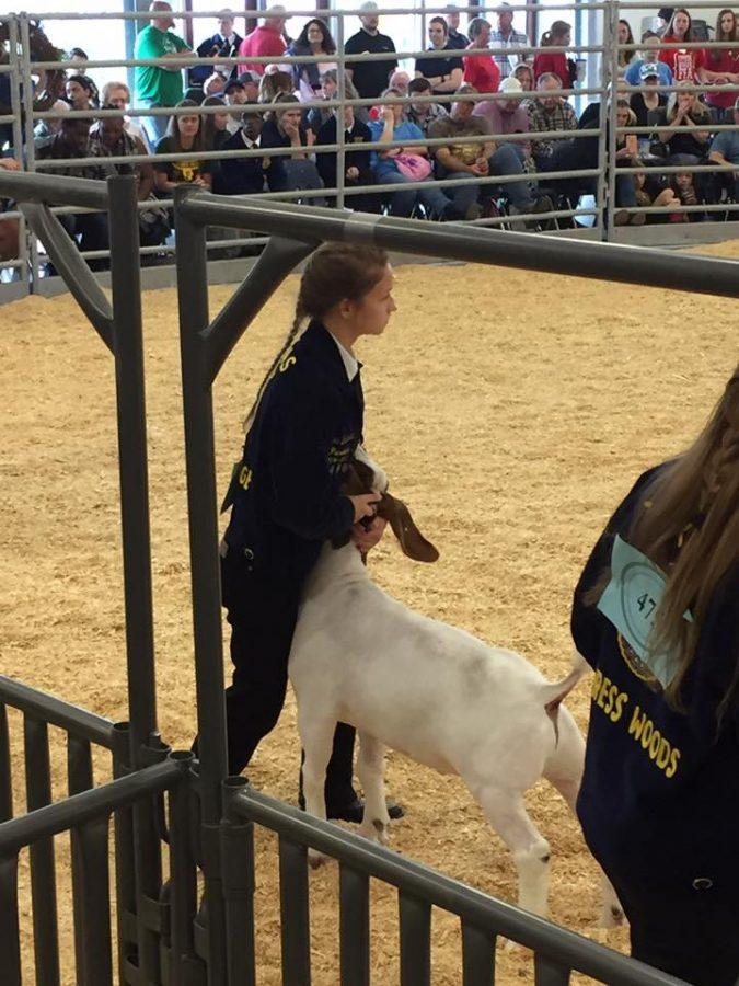 Nicole Broussard took 5th place in Class 7 for her Market Goat. Her goat was purchased by Flying M at the premium sale.